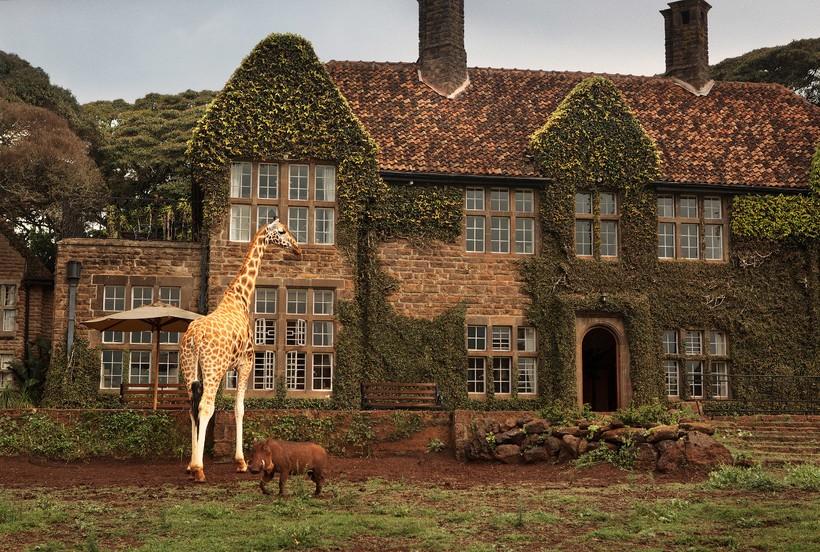 Завтрак с жирафами Ротшильда, занесенными в Красную книгу
