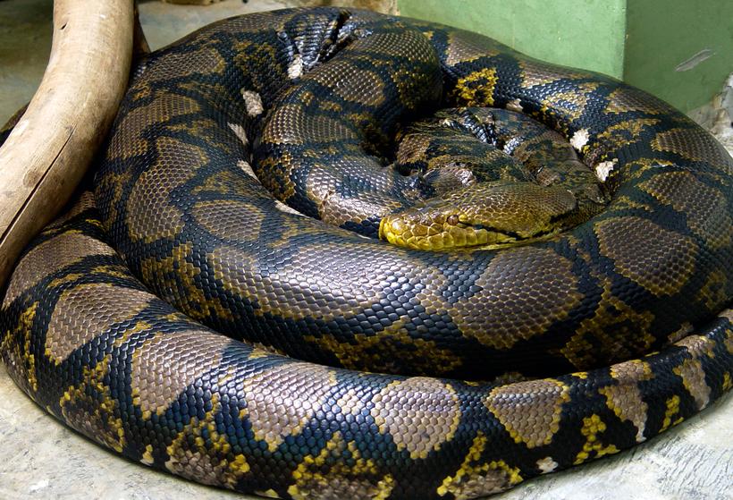 брачную огромная змея картинки барная фурнитура
