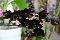 Самая черная орхидея в мире зацвела в Москве
