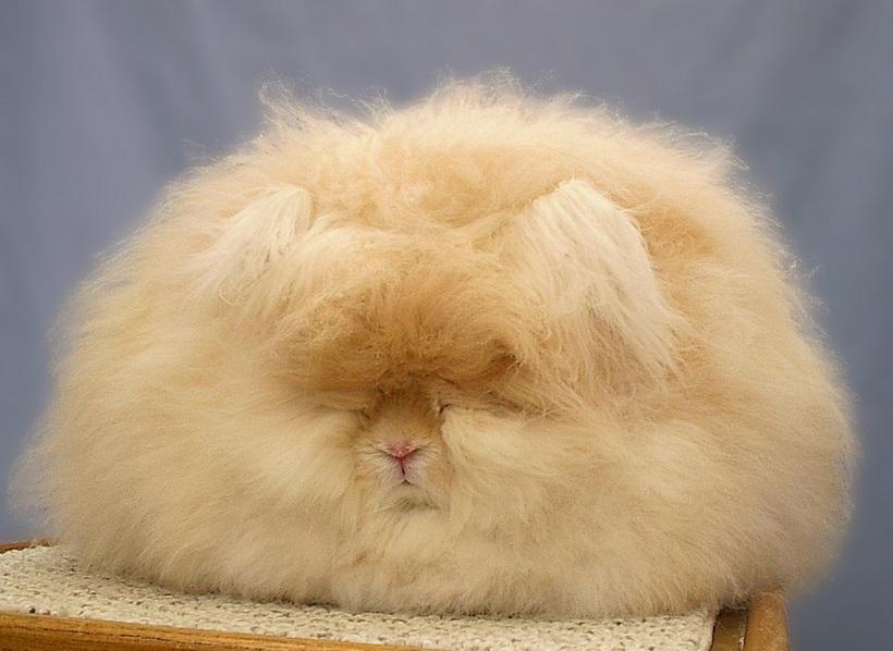 Ангорский пушистый кролик фото летних образах