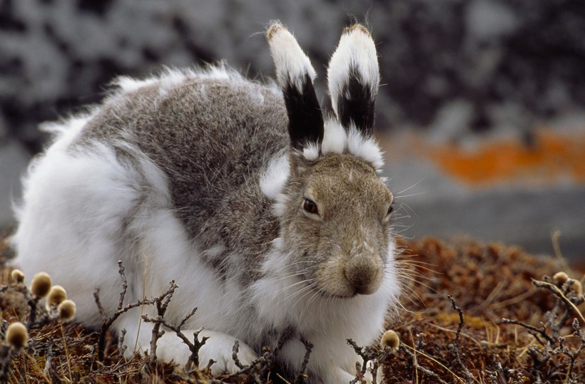 Заяц меняет шубку