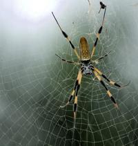 Генетиков не остановить: зачем ученые скрестили паука и козу, и что из этого вышло