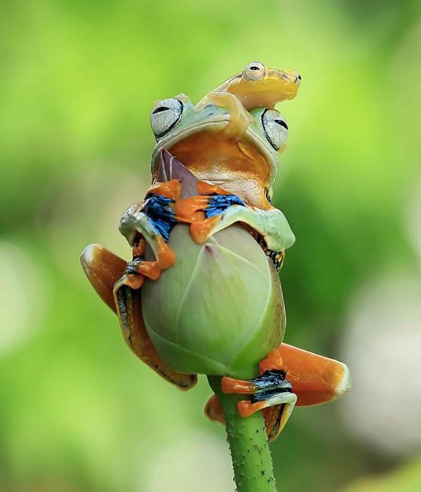 Индонезиец снимает неожиданные грани обычных лягушек