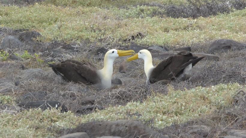 Семья альбатросов на Галапагоссах