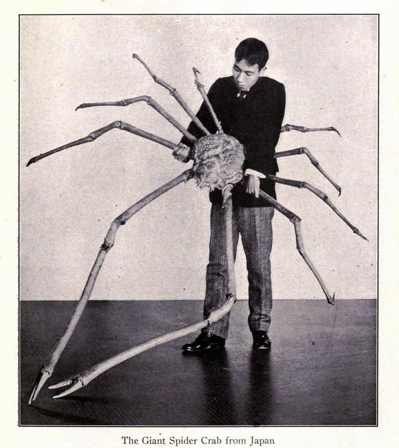 Японский краб-паук — самое большое ракообразное в мире