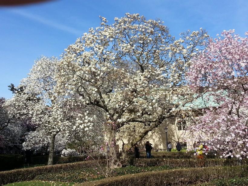 Цветение сакуры в Бруклинском ботаническом саду, апрель 2018