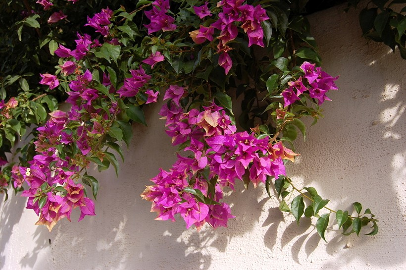 Растение бугенвиллея считается находкой Жанны Барре