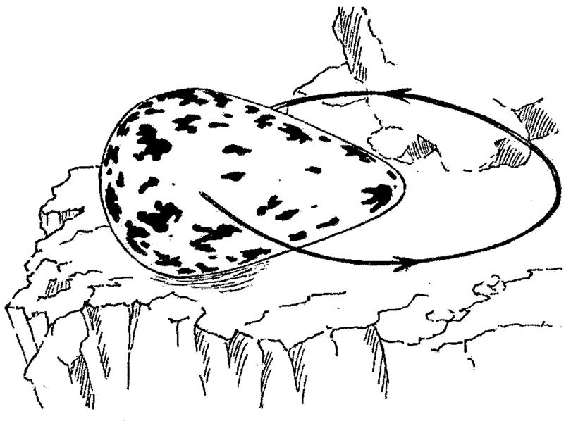 Почему яйца кайры такой странной грушевидной формы