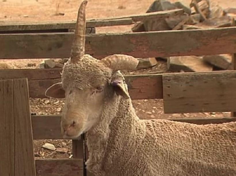 Парень спас барашка с фермы от смерти, поскольку тот выглядел, как истинный единорог