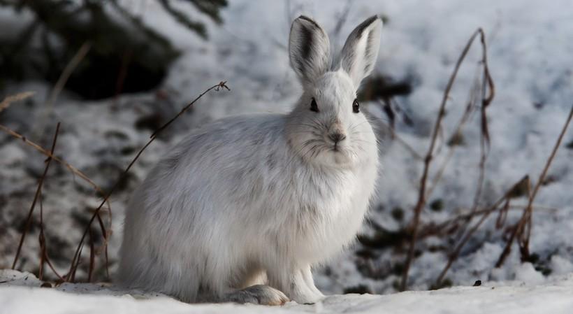 Заяц на Аляске