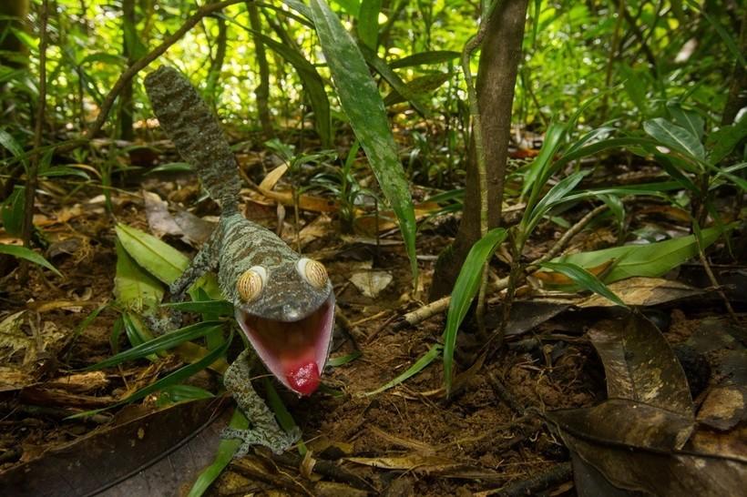 Веселые снимки хитрого, ухмыляющегося геккона, чью маскировку раскрыли хищные птицы