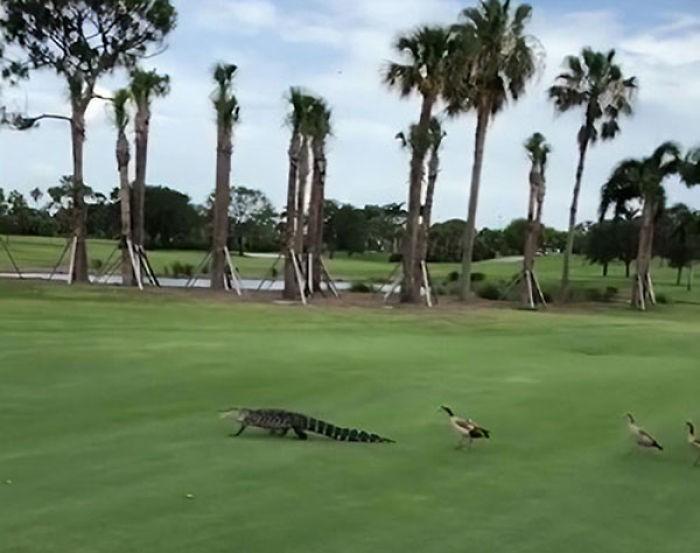 Рассвирепевшие утки преследуют аллигатора по полю для игры в гольф