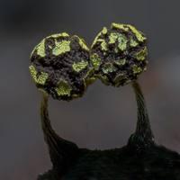 Фантастические снимки удивительных грибов Северной Калифорнии от Элисон Поллак