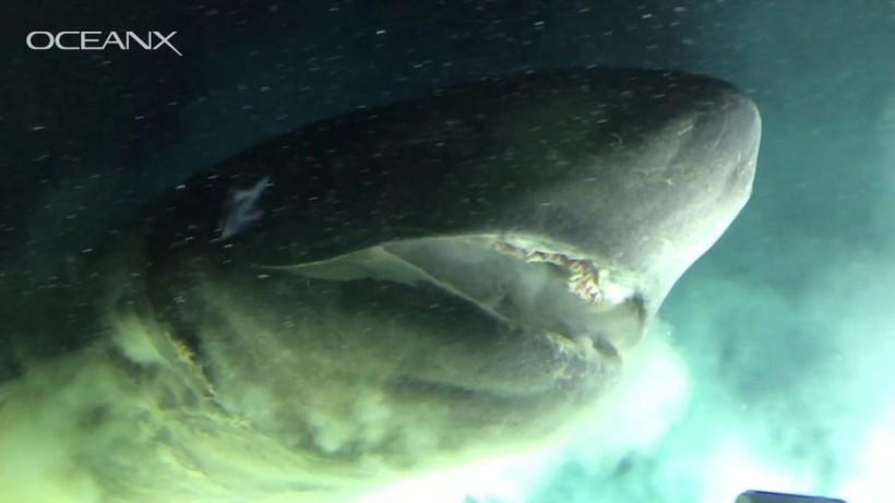 Гигантская шестижаберная акула проплыла прямо над камерой, впервые попав на видео