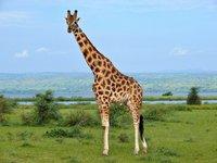 Не только для красоты и маскировки: какую роль играют пятна на шкуре жирафа