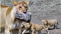 Видео: Туристы обронили чехол от камеры, и он стал игрушкой для львят