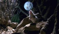 Невероятная мышь-убийца, которая воет на луну, а яд скорпиона применяет как энергетик