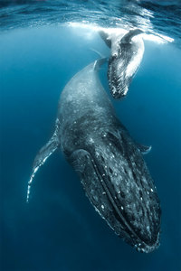 Фотограф делает потрясающие кадры горбатых китов в южной части Тихого океана