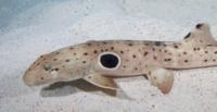 Необычные акулы, которые умеют ходить по суше