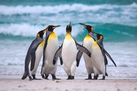 Загадка острова Кошон: куда исчез миллион королевских пингвинов