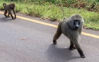 В чем сила бабуинов: как приматы наводят страх на львов, леопардов и людей в Африке