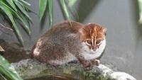 Дикий кот, который звучит как лазерный бластер, и другие чудные представители кошачьих
