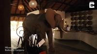 Видео: Голодный слон забрел в отель в поисках фруктов