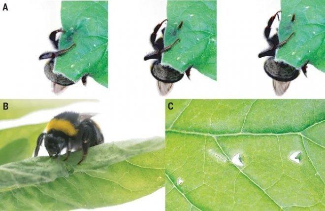 Поразительная хитрость: зачем шмели делают дырки в листьях растений