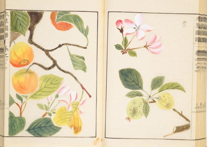 До 1860-х годов японцы не знали яблок: как бывшие самураи с удивлением открыли фрукт