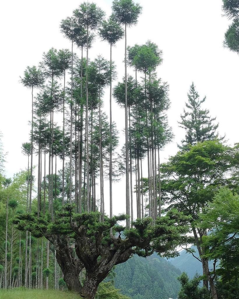 Дайсуги: загадочная японская техника позволяет получать древесину, не вырубая лес