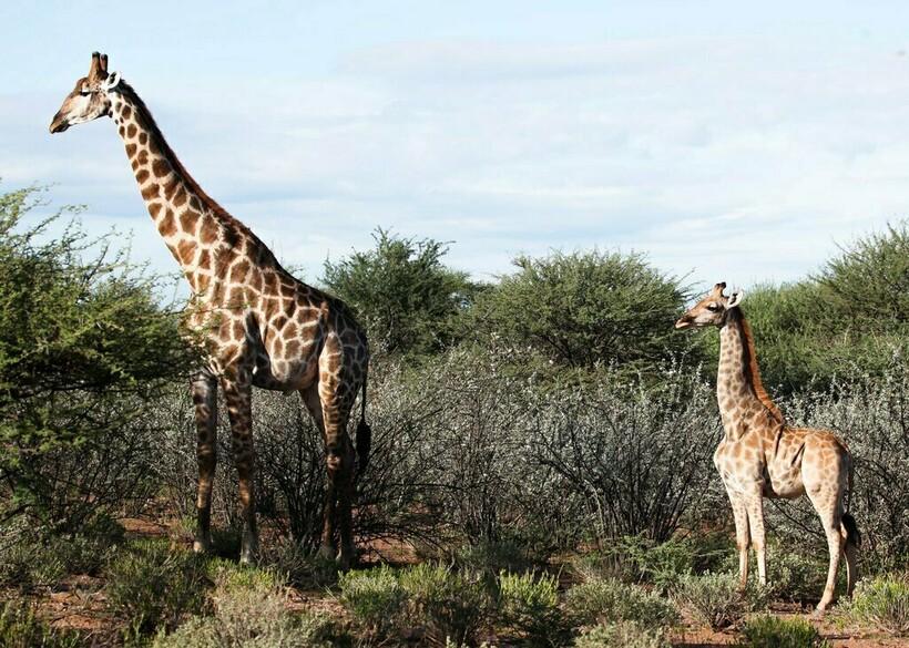 Взрослый карликовый жираф стоит рядом со своим сородичем нормального роста