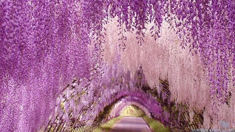 Как выглядит цветочный сад Кавати Фудзи в Японии