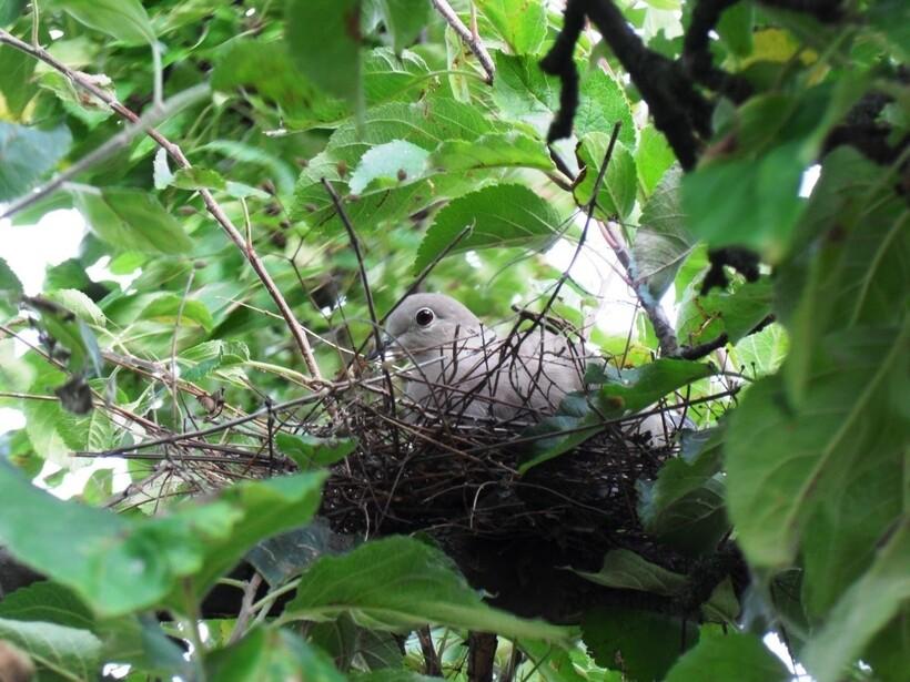 Места гнездования голубей