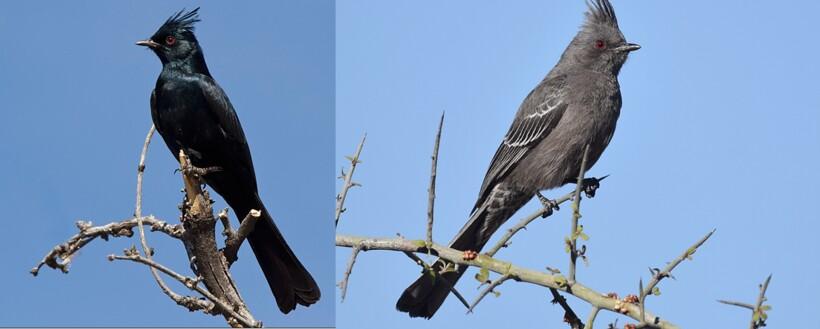 Самка и самец черного свиристеля