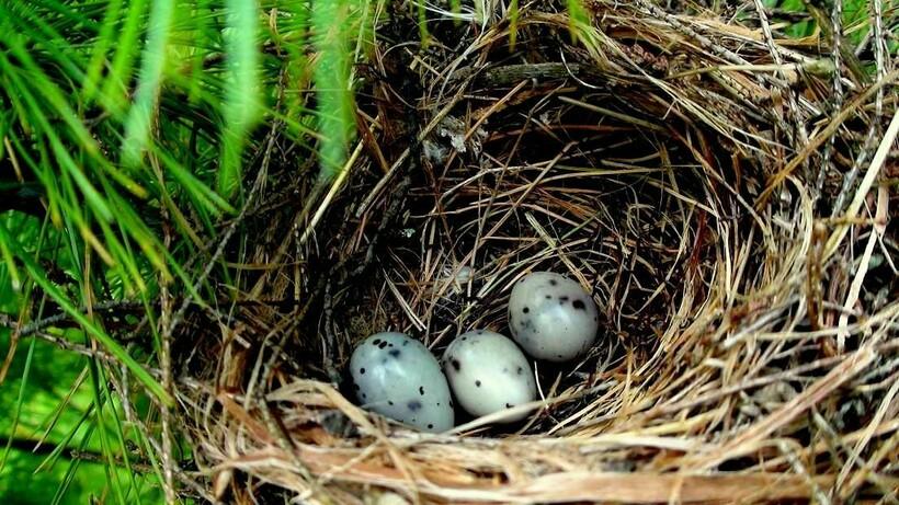 Гнездо свиристеля