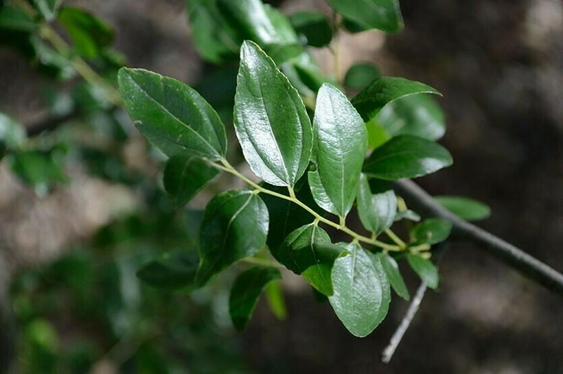 Листья зизифуса