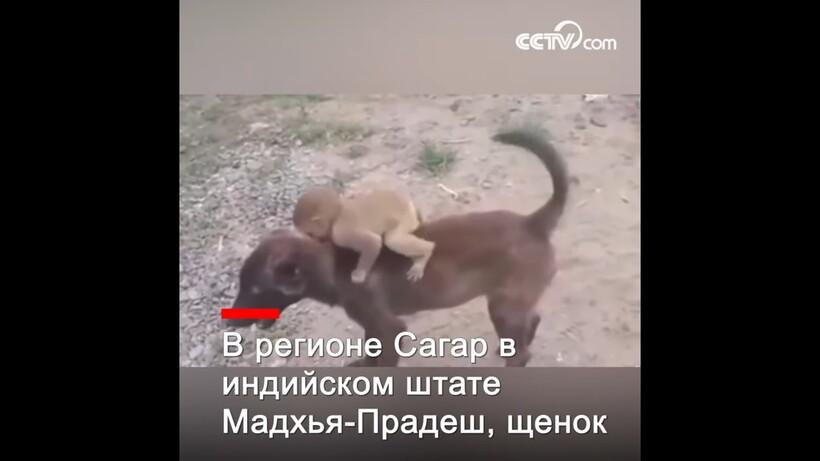 Видео: Собака принесла в полицию брошенную обезьянку, чтобы люди позаботились о ней