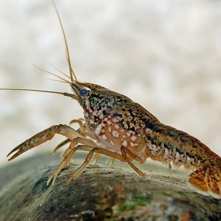 В Европе мраморные раки уже запрещены для разведения в аквариумах