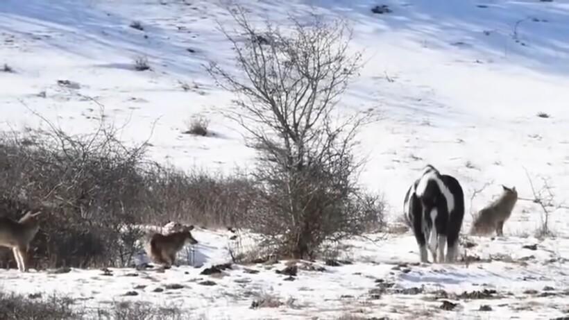 Лошадь оказалась среди стаи волков, но те даже и не подумали ее атаковать