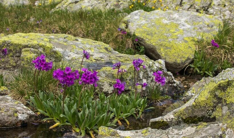 Флора горы Мусала