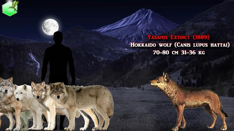 Видео: Сравнение размеров живых и исчезнувших волков