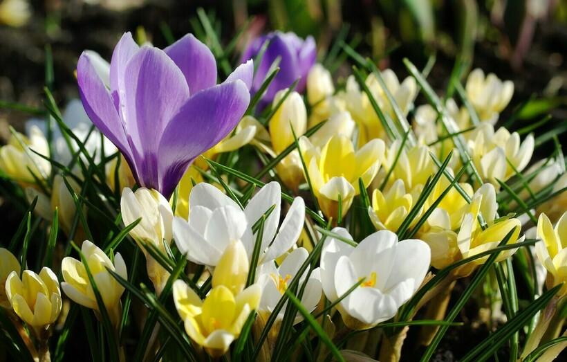 Крокусы белые, фиолетовые и желтые