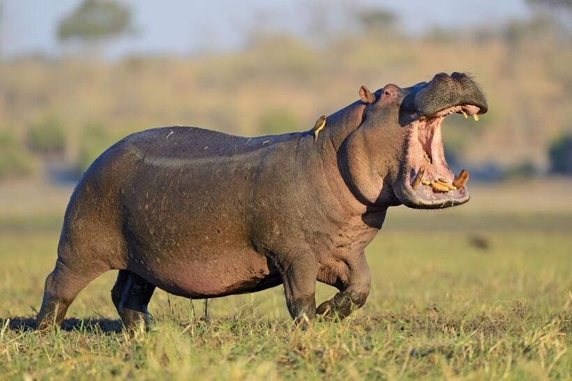Бегемоты такие же млекопитающие, как и мы с вами