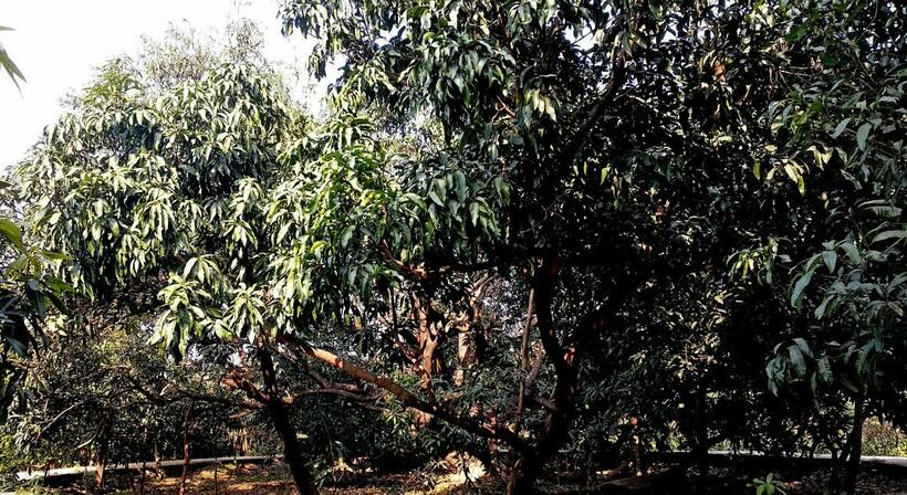Столетнее дерево, которое стало садом