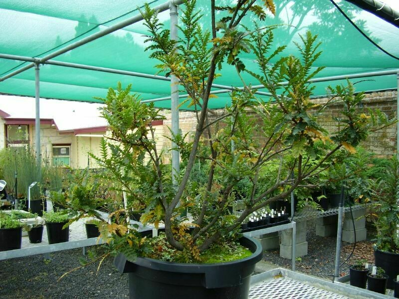 Остролист Кинга настолько хрупок, что в ботаническом саду Тасмании его не показывают широкой публике
