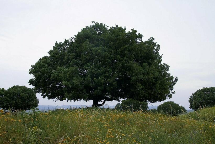 Таворский дуб на вершине горы