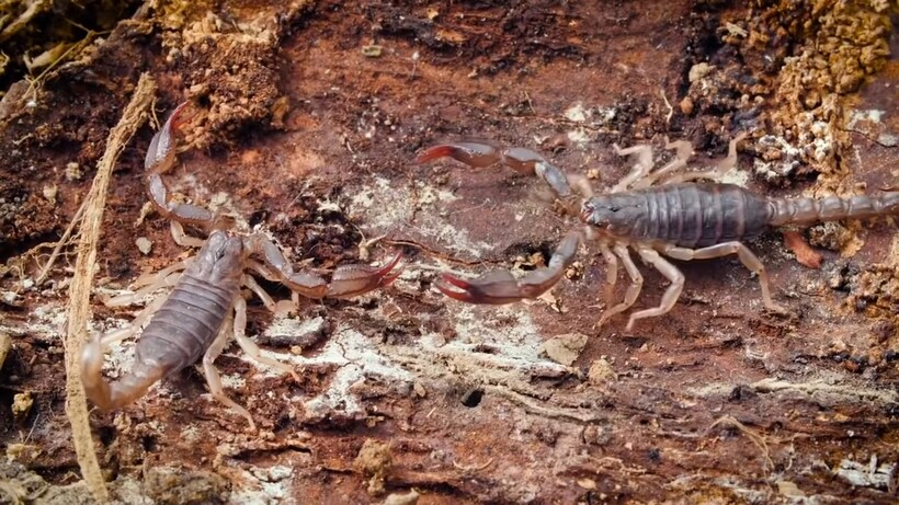 У скорпиона есть 24 часа, чтобы сбросить свой панцирь и остаться в живых, — почему так