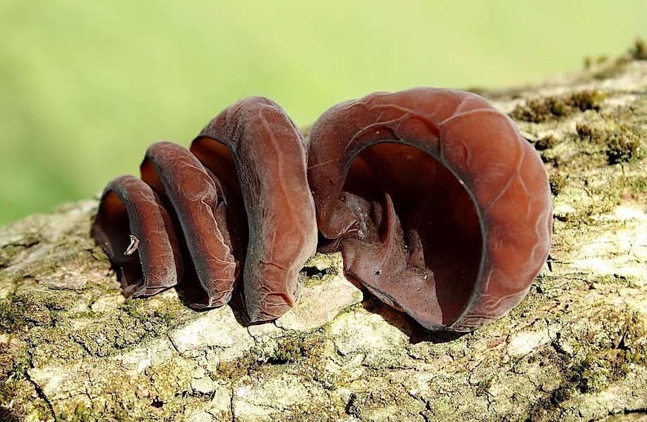 Уши Иуды — странные грибы, которые многие не боятся есть