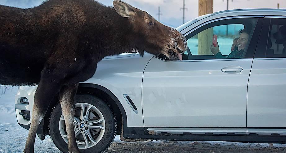 Фото дня: лось встречает гостей
